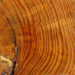 Treering metadata image: Annual Rings in a Ponderosa Pine. Photo by Peter Brown, Rocky Mountain Tree-Ring Research. For high resolution image please visit: http://www.ncdc.noaa.gov/paleo/image/collage/treering-large.jpg